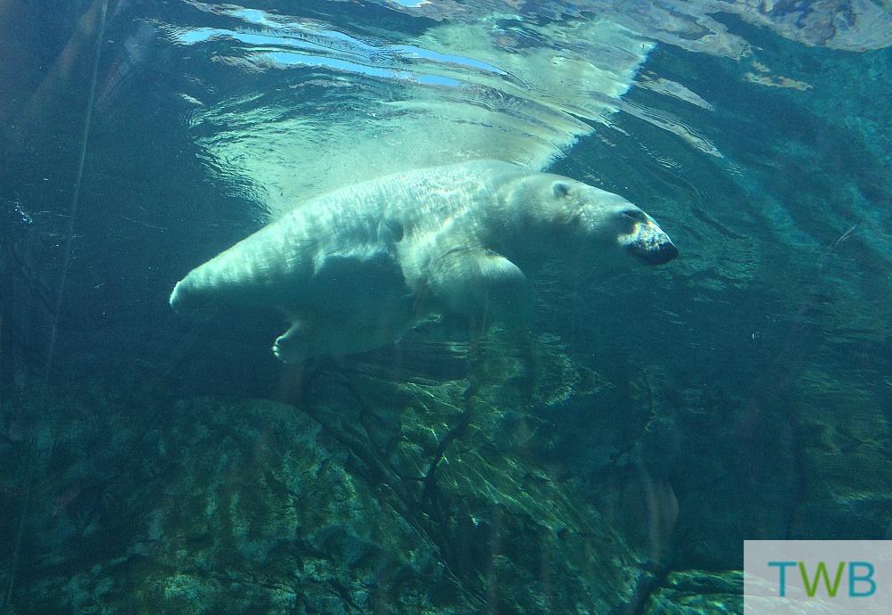 Wpg polar bear