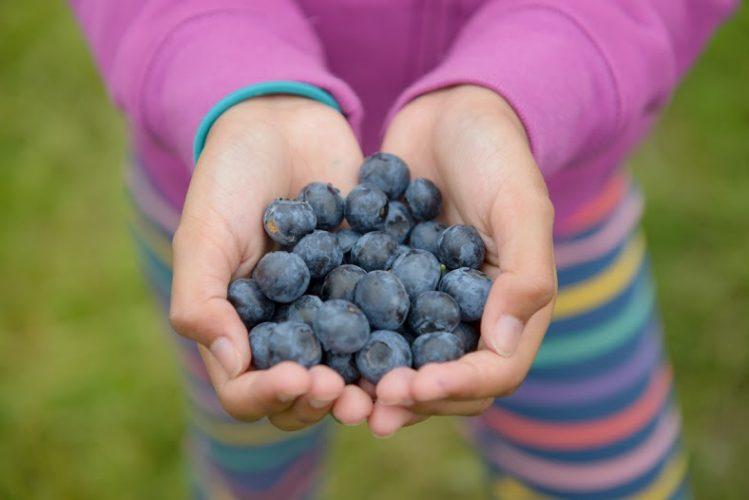 BC Blueberry Picking