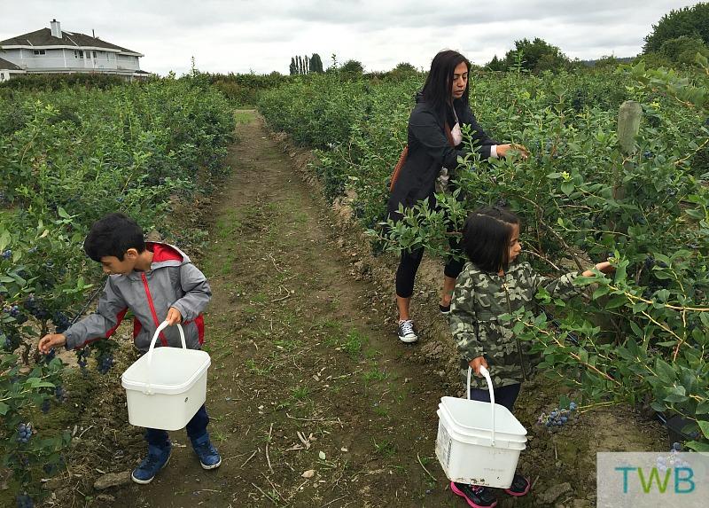 Blueberry - family picking