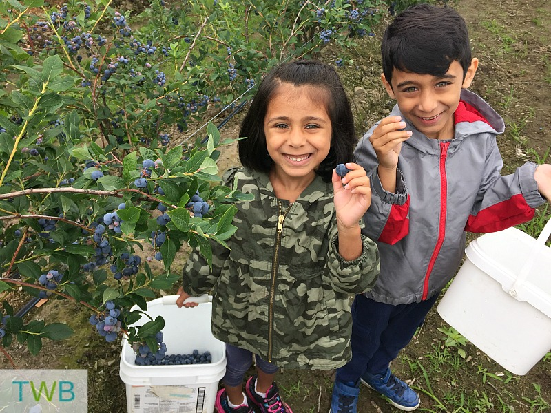 Blueberry picking - kids